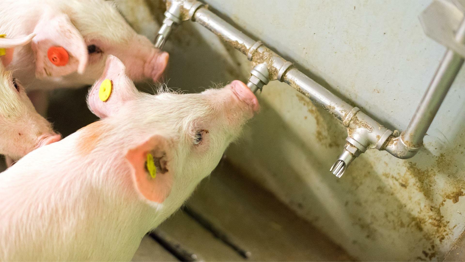 Schoon drinkwater voor varkens