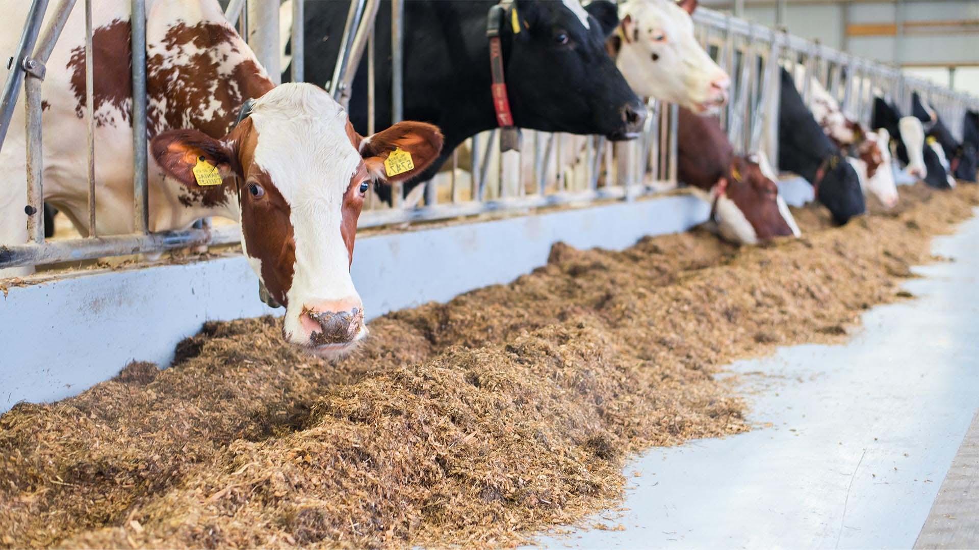 voergang rundveehoudrij