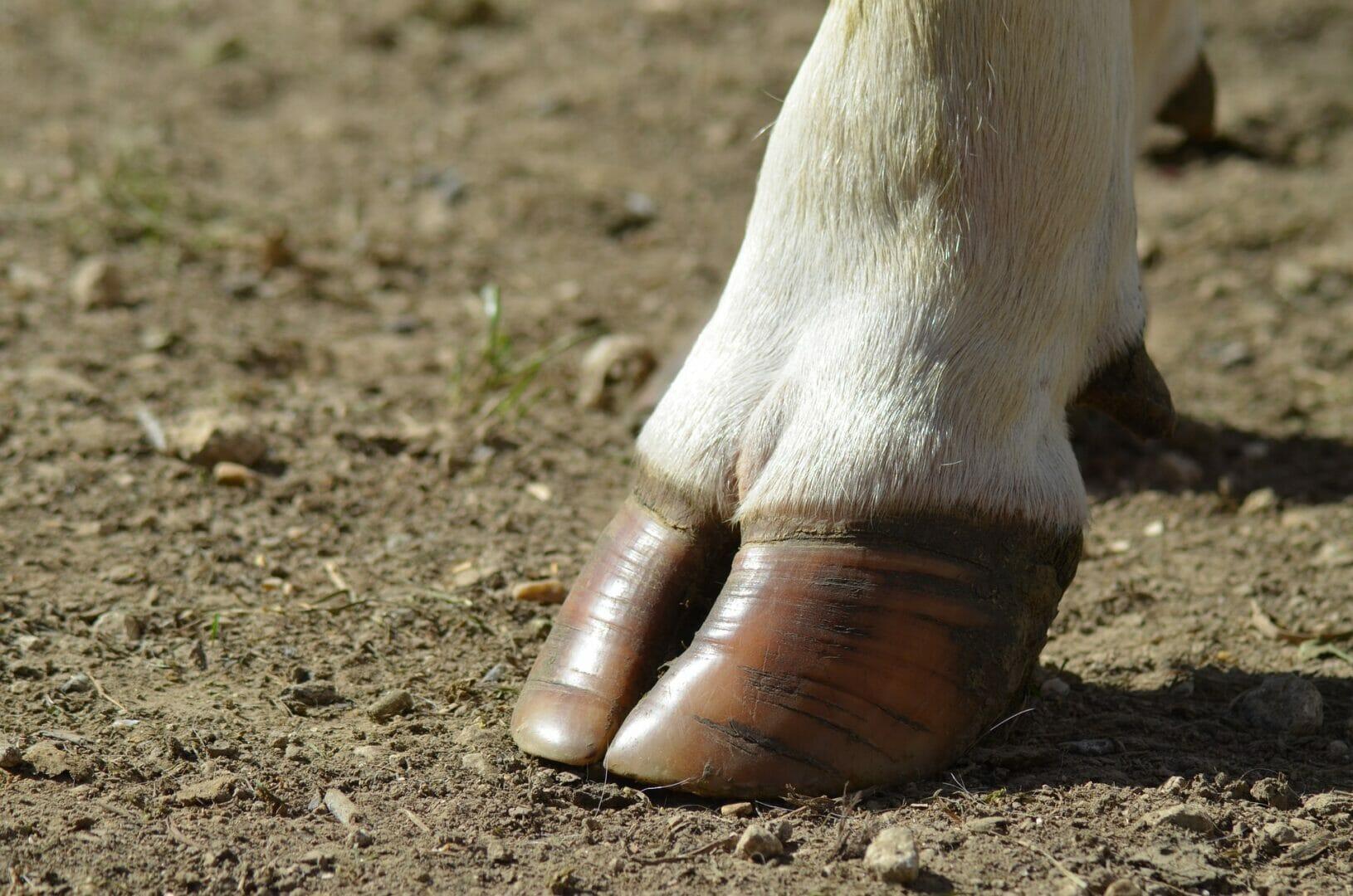 Onglon vache